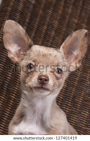 chihuahua puppy dog