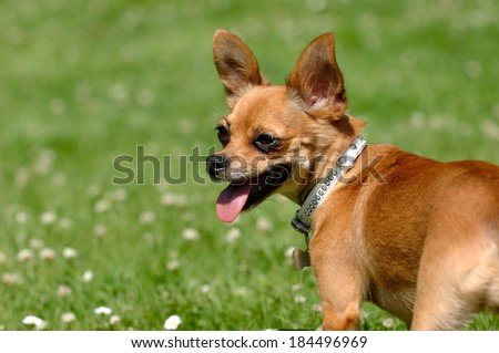 Chihuahua puppy dog is standing on green grass - stock photo