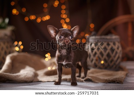 Chihuahua puppy dog on a studio background - stock photo