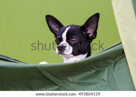 Chihuahua puppy dog on tent camp
