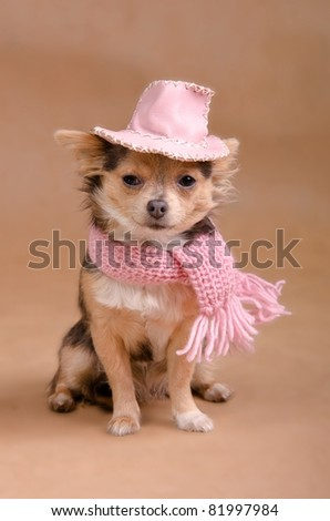 Chihuahua puppy dressed as detective - with pink hat and scarf - stock photo