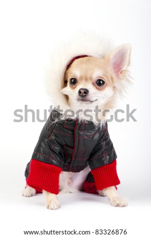 Chihuahua puppy dressed in bright jumpsuit with fur hood sitting on white background - stock photo