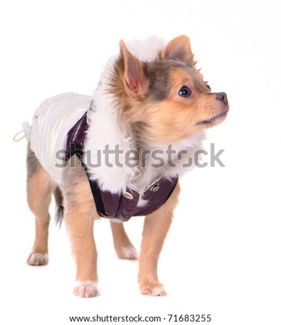 Chihuahua puppy dressed in coat for cold weather