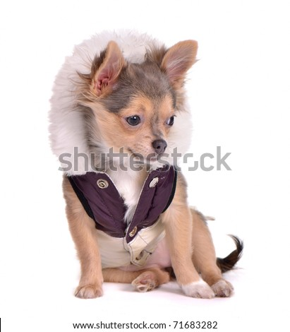 Chihuahua puppy dressed in coat, white background - stock photo