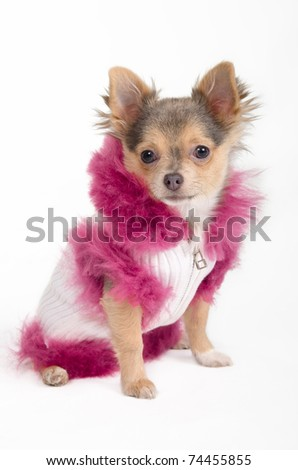Chihuahua puppy dressed in fancy winter jacket - stock photo