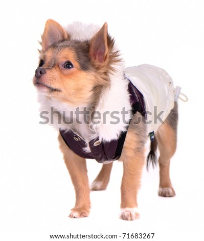 Chihuahua puppy dressed in trendy coat, looking aside, isolated on white