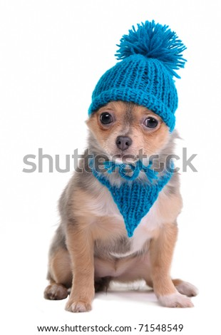 Chihuahua Puppy Dressed With Blue Scarf and Hat, Looking At Camera