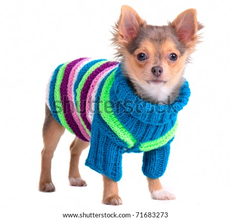 Chihuahua puppy dressed with colorful sweater, isolated on white - stock photo