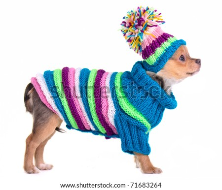 Chihuahua puppy dressed with handmade sweater and hat, isolated - stock photo