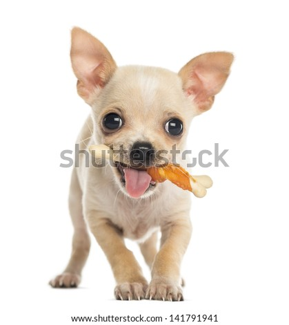 Chihuahua puppy facing with a bone in the mouth, isolated on white - stock photo