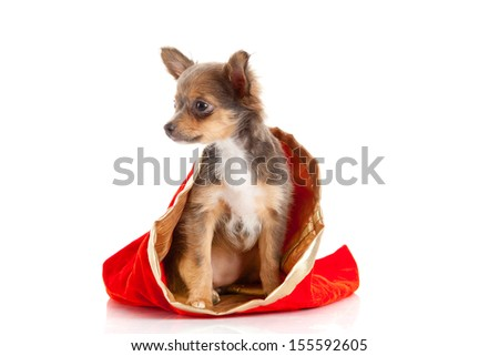 Chihuahua puppy   for Christmas! - stock photo
