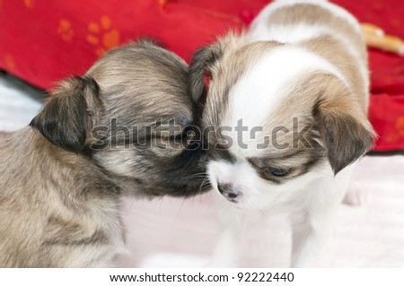 chihuahua puppy gently snuggle in other one - stock photo