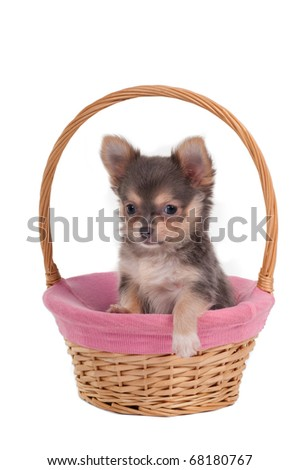 Chihuahua puppy having a rest in a handmade basket - stock photo