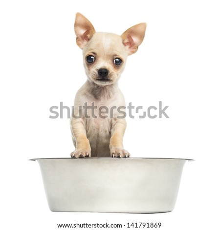 Chihuahua puppy in a big dog bowl, isolated on white - stock photo