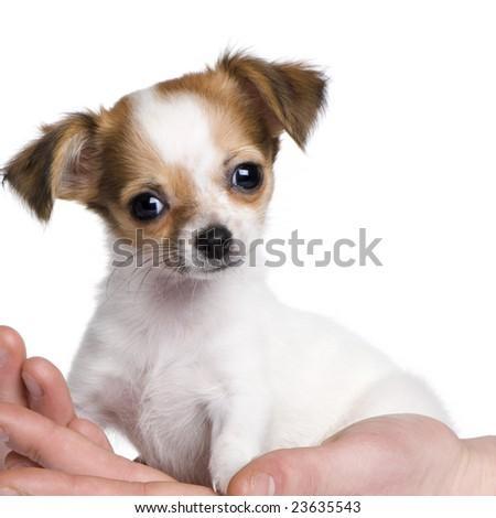 chihuahua puppy in a hand (3 months) in front of a white background - stock photo