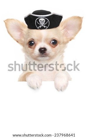 Chihuahua puppy in carnival pirate hat above white banner isolated on white background - stock photo