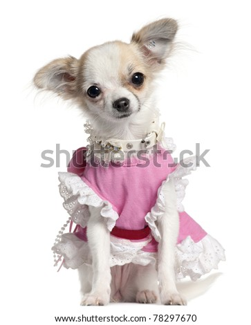 Chihuahua puppy in pink dress, 6 months old, sitting in front of white background - stock photo