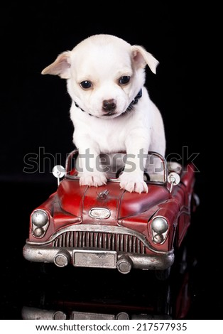 Chihuahua puppy  in retro car, blonde at the wheel - stock photo