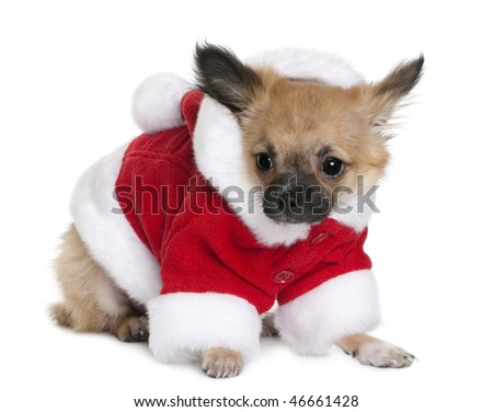 Chihuahua puppy in Santa Claus suit, 4 months old, standing in front of white background
