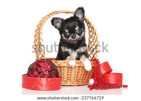 Chihuahua puppy in wicker basket against white background - stock photo