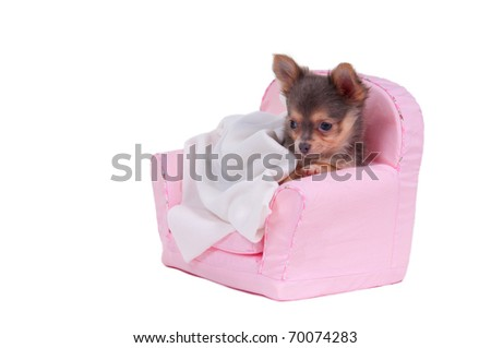 Chihuahua puppy is going to have a sleep in pink armchair - stock photo
