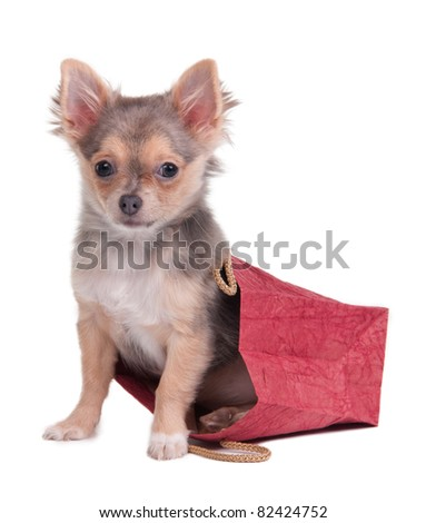 Chihuahua puppy is hiding in red shopping bag isolated on white - stock photo