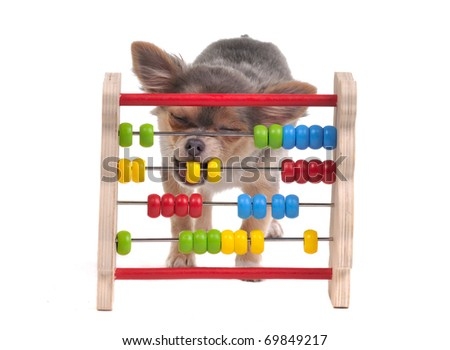 Chihuahua puppy is learning to count with Abacus, isolated   - stock photo