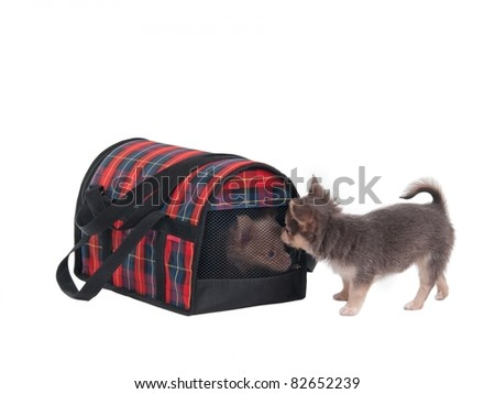 Chihuahua puppy is looking for its friend hiden in a transportation cage - stock photo