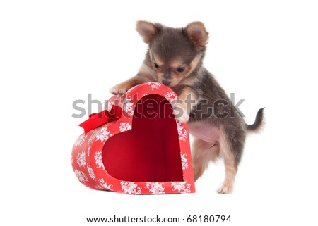 Chihuahua puppy is playing with heart shaped present box - stock photo