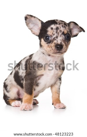 Chihuahua puppy isolated on white