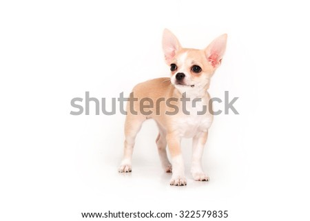 Chihuahua puppy isolated on white background