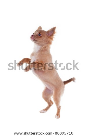 Chihuahua puppy jumping, isolated on white - stock photo