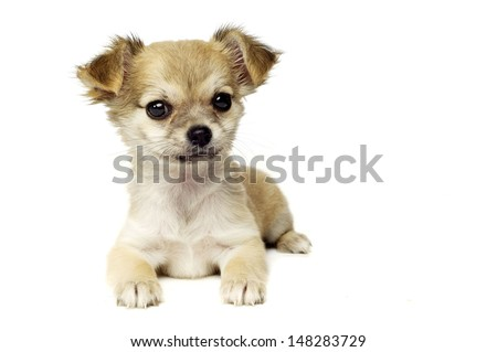 Chihuahua puppy laid looking at the camera isolated on a white background