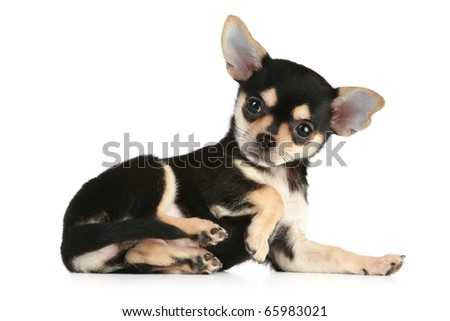 chihuahua puppy lies on a white background