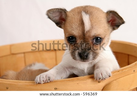 Chihuahua puppy looking out from basket