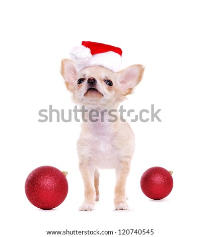 Chihuahua puppy looking to the copy space area wearing christmas hat - stock photo