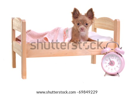 Chihuahua puppy lying in a bed with alarm-clock, isolated on white background - stock photo