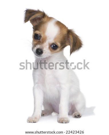 chihuahua puppy (3 months) in front of a white background - stock photo