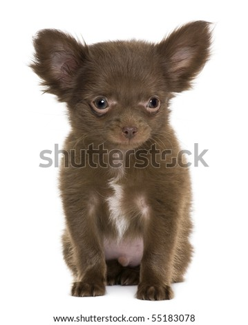 Chihuahua puppy, 5 months old, in front of white background - stock photo