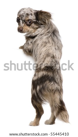Chihuahua puppy, 8 months old, looking at the camera against white background - stock photo