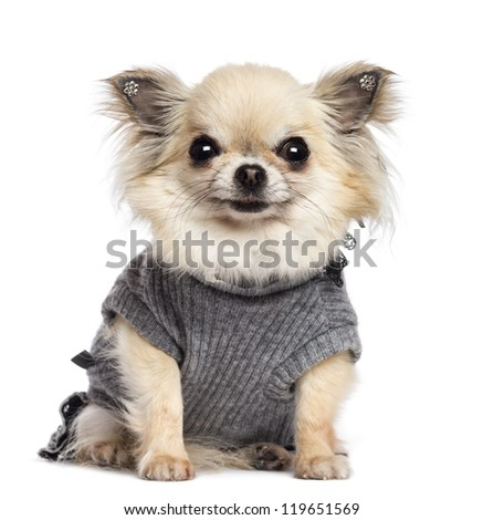 Chihuahua puppy, 4 months old, sitting, dressed and looking at camera against white background - stock photo