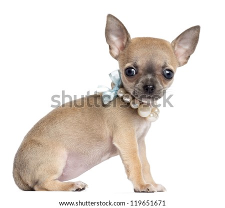 Chihuahua puppy, 4 months old, wearing pearl necklace, sitting and looking at camera against white background - stock photo