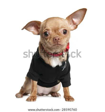 chihuahua puppy (8 mounths) in front of a white background