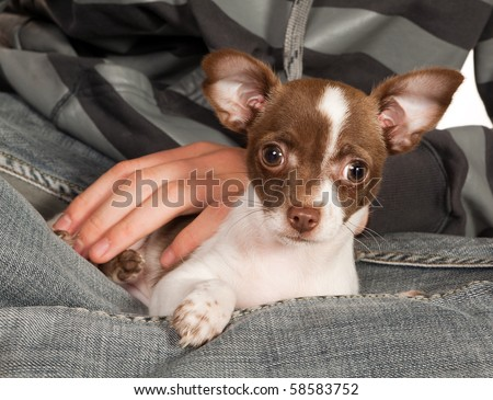 Chihuahua puppy of three months old on his boss' lap - stock photo