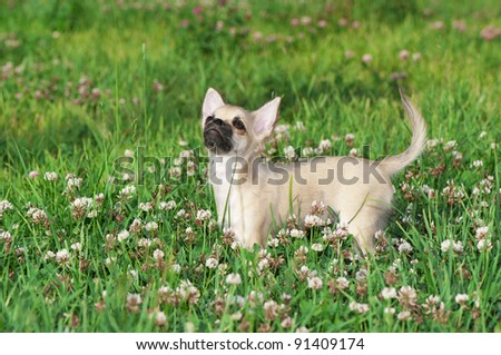 Chihuahua puppy on a green lawn among white clover flowers looking up - stock photo
