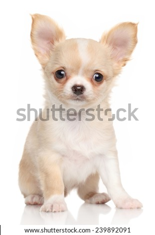 Chihuahua puppy on a white background - stock photo