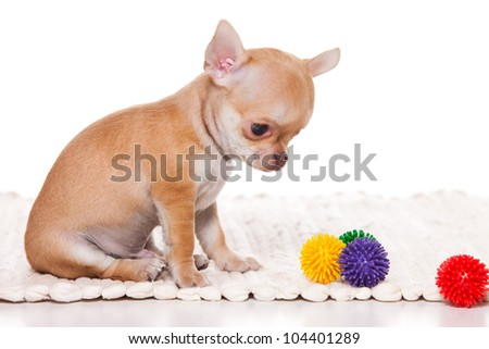 Chihuahua puppy on white background - stock photo