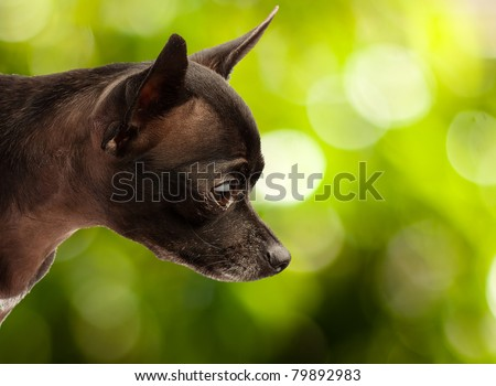 Chihuahua puppy outdoors. - stock photo