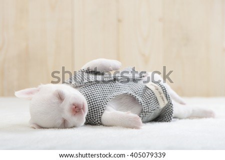 Chihuahua puppy, pet. - stock photo