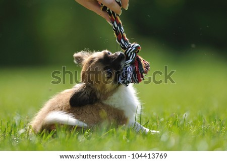 Chihuahua puppy play game with rope toy in woman hand on a green grass - stock photo